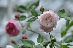 即納 【バラ苗】 マダムピエールオジェ (B淡桃) 国産苗 大苗 6号鉢植え品 ☆ 【オールド…