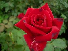 ☆★☆【バラ苗】 ドフトツァーバー84 【ロイヤルウィリアム】 (HT赤色) 国産苗 大苗 6...