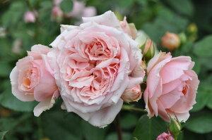 【バラ苗】 ポールボキューズ (Gen杏桃) 輸入大苗 6号鉢植え品 ■ 【ギヨー】