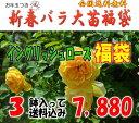 お年玉付き♪イングリッシュローズ福袋 (国産苗 大苗3鉢)