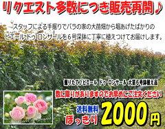 当店通常価格1580+送料のところ  2000円ぽっきり≪送料込み!≫ 掘りたて♪ピエールドゥロ...