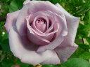 ◇【バラ苗】 ブルーナイル (HT紫) 国産苗 新苗 6号鉢植え品 ● 【デルバール.四季咲き...