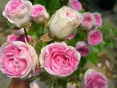 【バラ苗】 スタンダードローズ80cmハナグルマ 国産苗 8号鉢植え品