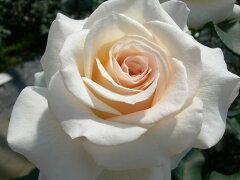 【バラ苗】 フレンチレース  (FL白色) 国産苗 大苗 6号鉢植え品 ★ 【四季咲き.木立....