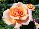 【バラ苗】 サンセットセレブレーション【ウォーム ウィッシーズ】 (HT淡橙) 国産苗 大苗...