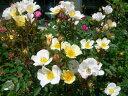 【バラ苗】 フェアリーウイングス (Min白色) 国産苗 大苗 6号鉢植え品 ★ 【ミニバラ】