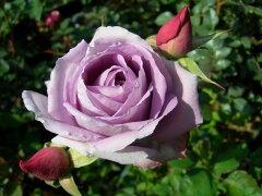 ★☆★ 【バラ苗】 ハリーエドランド (FL紫色) 国産苗 大苗 6号鉢植え品 ★ 【四季咲き....