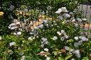 ★☆★ 【バラ苗】 群星【グンセイ】 (R白色) 国産苗 大苗 6号鉢植え品 ★ 【オールド...