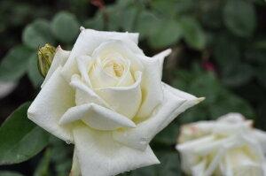 【バラ苗】 ホワイトキャット (HT白色) 国産苗 中苗 6号鉢植え品 ○ 【四季咲き.木立.大...