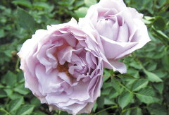 即納 【バラ苗】 ルシファー (HS紫) 国産苗 大苗 6号鉢植え品 ☆ 【ヘブンシリーズ】