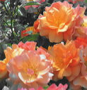 ◇【バラ苗】 アプリコーラ (FL複橙) 国産苗 新苗 6号鉢植え品 ● 【四季咲き.木立.中...
