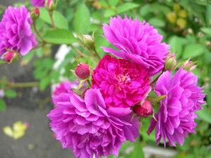 【バラ苗】 スイートチャリオット (Min濃桃) 国産苗 新苗 5号鉢植え品 ○ 【ミニバラ】