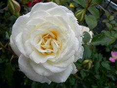 ◆◇◆【バラ苗】 ファビュラス! (FL白色) 国産苗 新苗 ● 【四季咲き.木立.中輪房咲き....