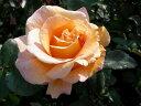 ☆★☆【バラ苗】 ウィスキーマック (HT橙色) 国産苗 大苗 6号鉢植え品 ☆ 【四季咲き....