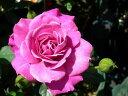 ◇【バラ苗】 プラムダンディ(Min赤紫) 国産苗 新苗 6号鉢植え品 ● 【ミニバラ】