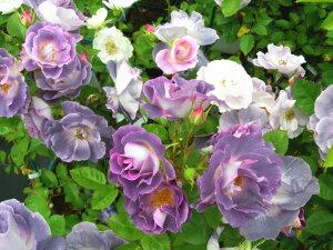 即納 【バラ苗】 ブルーフォーユー (Fl紫) 国産苗 大苗 6号鉢植え品 ★ 【四季咲き.木…