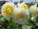 予約 【バラ苗】 バニラボニカ (Sh白) 国産苗 新苗 ● 【シュラブ.半つるバラ.半ツルバラ...