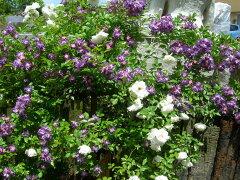 【バラ苗】 ブルー ランブラー【ファイルフェンブラウ】 (R紫) 国産苗 新苗 5号鉢植え品...