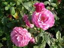 ◇【バラ苗】 ラブポーション (FL赤紫) 国産苗 新苗 6号鉢植え品 ● 【四季咲き.木立....