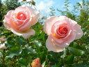 ◇【バラ苗】 ヨハンシュトラウス (Ant杏桃)  国産苗 新苗 6号鉢植え品 ● 【アンティー...