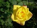 【バラ苗】 イエローメイアンディナ (Min黄色) 国産苗 新苗 5号鉢植え品 ○ 【ミニバラ】