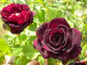 【バラ苗】 アストリットグレーフィンフォンハルデンベルク  (Ant赤色)  国産苗 新苗 5号...