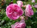 ◇【バラ苗】 ジャスミーナ (Cl桃色) 国産苗 新苗 6号鉢植え品 ● 【つるバラ.ツルバ...