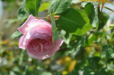 ◇【バラ苗】 リゼットドゥベランジェ (HP桃) 国産苗 新苗 6号鉢植え品 ● 【オールド...