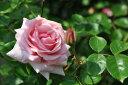 【バラ苗】 羽衣【はごろも】 (Cl桃) 国産苗 大苗 6号鉢植え品 ★ 【つるバラ.ツルバラ....
