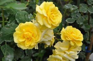 【バラ苗】 アトール99(Cl黄色)  国産苗 大苗 6号鉢植え品 ☆ 【つるバラ.ツルバラ.つ...