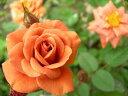 即納 【バラ苗】 テディベアー (Min茶色) 国産苗 新苗 6号鉢植え品 ● 【ミニバラ】