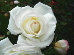 ◆◇◆ 【バラ苗】 エレーヌジュグラリス (HT白) 国産苗 新苗 ● 【四季咲き.木立.大輪.ハ...