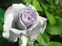 ◇【バラ苗】 ミスティパープル (FL紫) 国産苗 新苗 6号鉢植え品 ● 【四季咲き.木立....