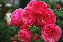 ◇◆◇ 【バラ苗】 ポンポネッラ (Ant桃) 国産苗 新苗 ● 【アンティークタッチのバラ.四...