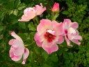 ※※※ 【バラ苗】 エリドゥバビロン (BR桃) 国産苗 大苗 6号鉢植え品 ★ ※2月末までに...