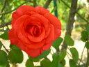 【バラ苗】 つるルスティカーナ (Cl朱赤) 国産苗 新苗 6号鉢植え品 ○ 【つるバラ.ツ...