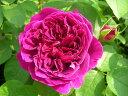 ※※※ 【バラ苗】 ウィリアムシェークスピア2000 (低ER赤)  国産苗 大苗 6号鉢植え品 ☆...