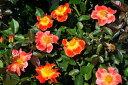 【バラ苗】 ホットファイヤー (FL複橙) 国産苗 大苗 6号鉢植え品 ★ 【四季咲き.木立....