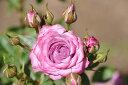 ※※※【バラ苗】 ブルーオベーション (Min紫色) 国産苗 大苗 6号鉢植え品 ☆ 【ミニバラ...