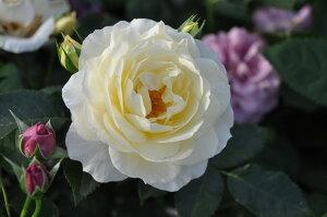 【バラ苗】 マリーアントワネット (FL白色)  国産苗 大苗 6号鉢植え品 ☆ 【四季咲き....