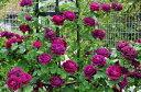 ◇【バラ苗】 スブニールドゥドクタージャーメイン (HP赤色) 国産苗 新苗 6号鉢植え品 ...