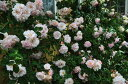 ◇【バラ苗】 フェリシア (HMsk桃) 国産苗 新苗 6号鉢植え品 ● 【オールドローズ.ハイ...