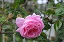 バラ苗【6号新苗】ケンティフォリアブラータ (C桃) 国産苗 6号鉢植え品【即納】《J-OC20》