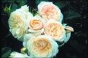 ※※※【バラ苗】 パーキー  (S白色) 国産苗 大苗 6号鉢植え品  ☆ 1月末までにお届...