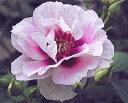 ※※※ 【バラ苗】 アイズフォーユー (Fl紫) 国産苗 新苗 ○※5月末までにお届けの予約新...
