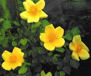 【バラ苗】 ベビーラブ  (Min黄色) 国産苗 新苗 6号鉢植え品 ● 【ミニバラ】