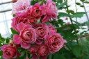 ◇【バラ苗】 あおい (FG桃色) 国産苗 新苗 6号鉢植え品 ● 【F&Gローズ.フローリスト...