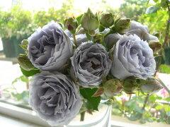 ◇【バラ苗】 ターンブルー (FL青紫) 国産苗 新苗 6号鉢植え品 ● 【四季咲き.木立.中...