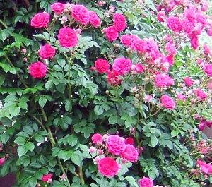 【バラ苗】 キング (Cl濃桃) 国産苗 大苗 6号鉢植え品 ★ 【つるバラ.ツルバラ.つるば...