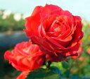 ◎即納【バラ苗】ニュードーンレッド (Cl赤色) 国産苗 新苗 6号鉢植え品 ○《J-CL20》 0725追加